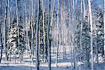 Neige sur les troncs d'arbres, Bluff, Nouveau-Brunswick, Canada de personne