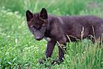 Wolf Cub, Alberta, Canada