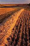 Barley Field, Edmonton, Alberta, Canada