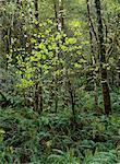Spring Rainforest, Umpqua Valley, Oregon, USA