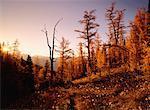 Mélèze d'automne au lever du jour, le Parc National Banff, Alberta, Canada