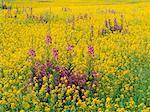 Fireweed and Canola, Pierceland, Saskatchewan, Canada