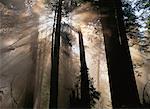 Trees at Dusk Prairie Creek Redwoods State Park California, USA