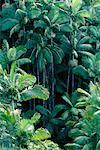 Rainforest Hawaii, USA