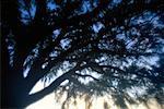 Eiche Baum Tallahassee, Florida USA