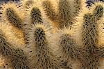 Cactus hérisson