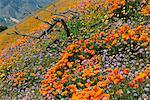 Pavot de Californie et fleurs sauvages