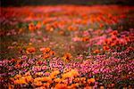 Wildflowers Namaqualand, Africa
