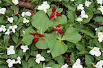 Close-Up of Trillium Flowers Bronte Creek Provincial Park Burlington, Ontario, Canada