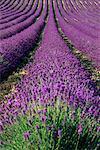 Lavande champ Provence, France
