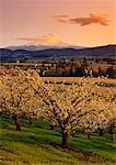 Apple Orchard Hood River Valley, Oregon, Etats-Unis