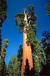 Giant Sequoia Tree Kings Canyon National Park California, USA