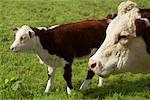 Hereford Cows Alburgh, England