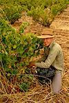 Person Picking Grapes Barossa Valley, South Australia Australia