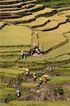 Rice Fields Bali, Indonesia