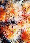 Close-Up of Anemone