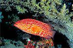 Truite de corail