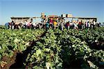 People Harvesting Lettuce