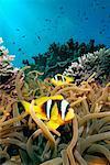 Clown Fish, Red Sea, Egypt