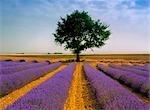 Champ de lavande près de Valensole en Provence, France