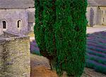 Trees and Lavender at Abbaye de Senanque Provence, France