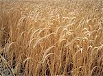 Champ de blé, Bourgogne, France,