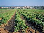 France, Provence, vines