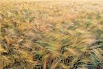 Champ de blé de France, Normandie,