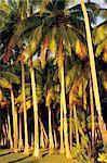 Palmiers de l'île, Papeete, Tahiti, Polynésie française