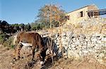 France, Corsica, Sagone, donkey and Corsican shelter