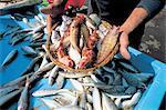 France, Provence, Marseilles, Vieux-Port fish market, bouillabaisse fishes