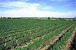 France, Auvergne, St Pourçain-sur-Sioule vineyard