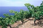 Vignoble de l'île de Hvar, Croatie
