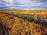 Le champ de Canola andainé au Manitoba, Canada