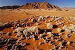 Shrubs in Desert Tiras Mountains Namibia Africa