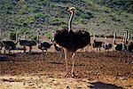 Autruche agriculture Klein Karoo, Afrique du Sud Cape Province