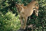 Lionne en arbre, Botswana, Afrique