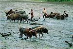 Bœufs de labour Madagascar champ de riz