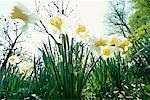 Daffodils Salzburg, Salzburg Land, Austria