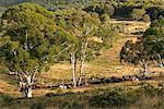 Ranchers Herding Cattle