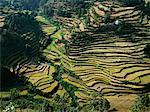 Rice Paddies, Northern India
