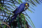 Hyacinth Macaw in Palm Tree, Pantanal, Brazil