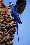 Hyacinth Macaws in Tree, Pantanal, Brazil