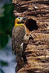 Campo scintillement au nid, Pantanal, Brésil