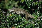 Green Iguana, Pantanal, Brazil