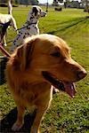 Portrait d'un Golden Retriever