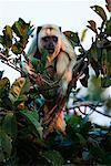 Howler Monkey, Mato Grosso, Pantanal, Brazil