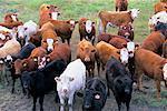 Rinder auf Bauernhof, Alberta, Kanada
