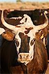 Close up of Bull