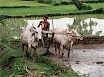 Homme labourant les rizières avec des boeufs, New Delhi, Inde